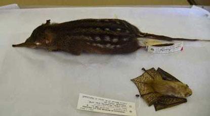 DITSONG National Museum of Natural History small mammals Dr Teresa Kearney